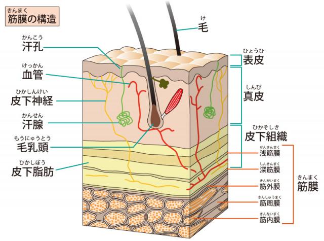 筋膜構造のイラスト