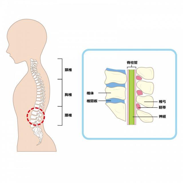 脊柱管の説明イラスト